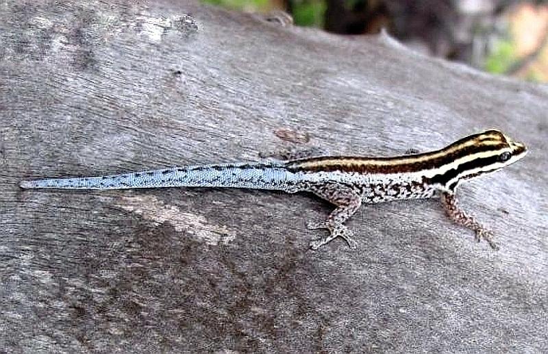 Geco nano dello Tsavo (Lygodactylus tsavoensis)