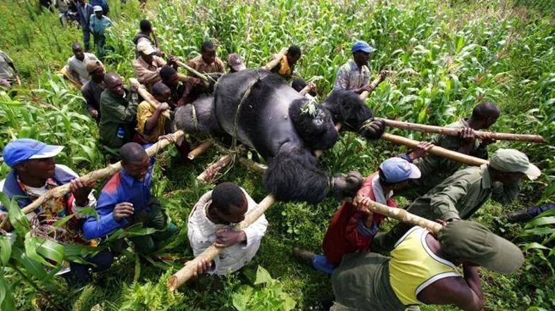 Un gorilla ucciso viene trasportato verso un luogo di sepoltura. Virunga National Park,  Repubblica Democratica del Congo, anno 2007