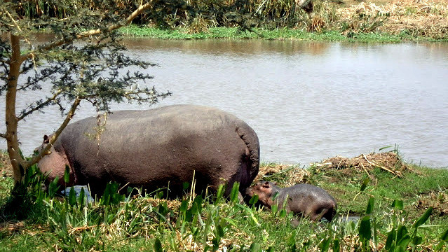Lago Jipe Kenya. La femmina di ippopotamo si allontana dal gruppo quando è pronta a partorire e partorisce in acque poco profonde o vicino alla riva del fiume