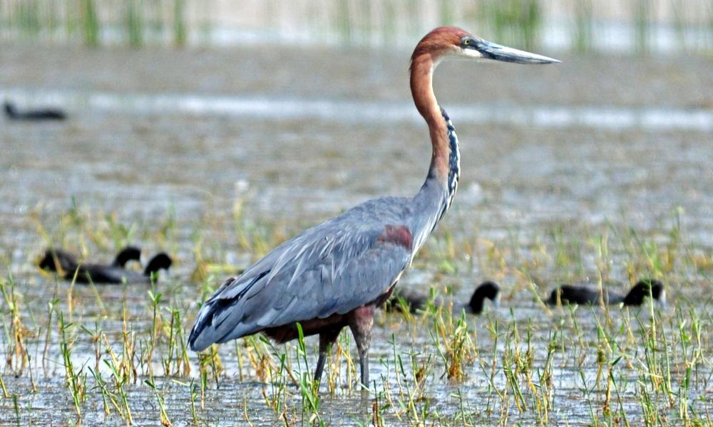 Airone gigante - Goliath Heron - (Ardea goliath)