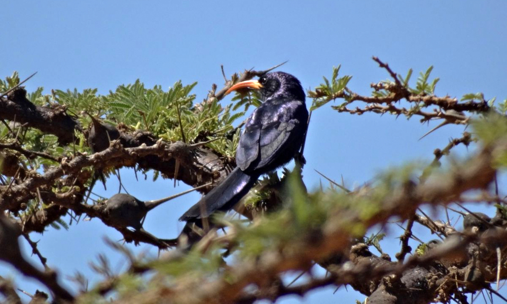 Uccello dal becco a scimitarra d'Abissinia - AbyssinianScimitarbill - (Rhinopomastus minor)