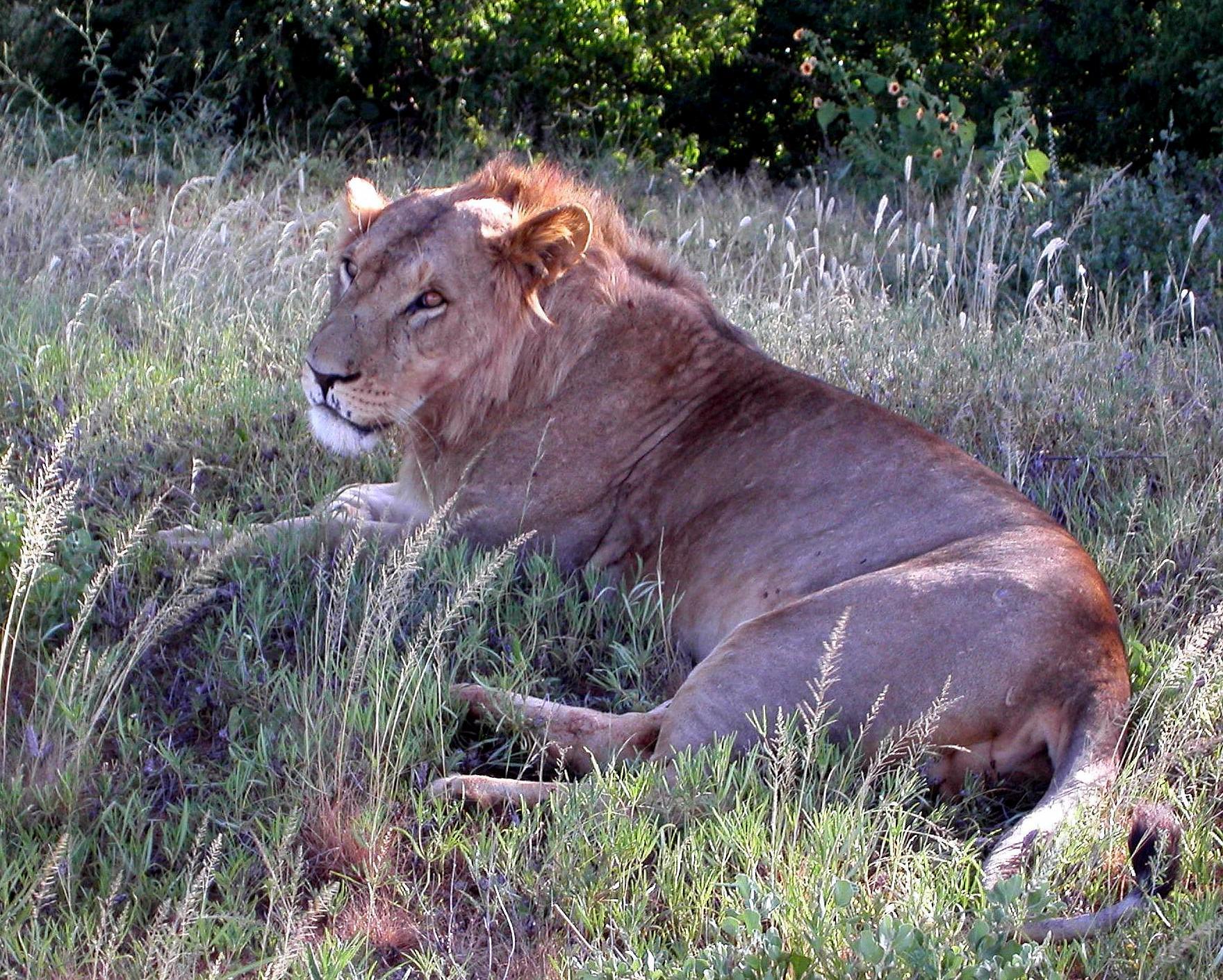 Leone Masai nella Samburu National Reserve, Kenya