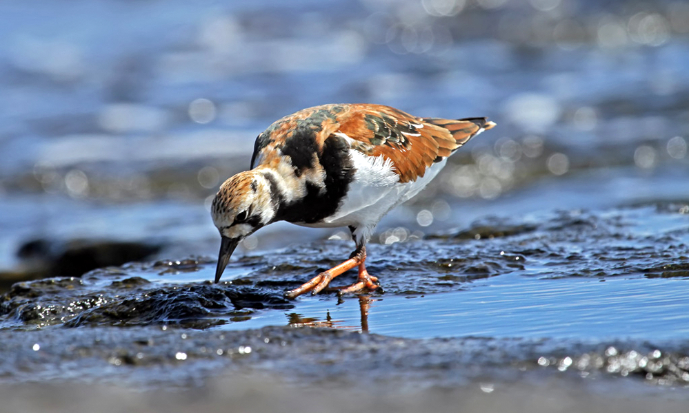 Voltapietre - Ruddy Turnstone - (Arenaria interpres)