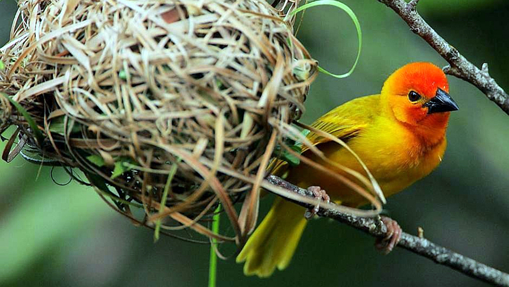 Kenya Vacanze - Golden Palm Weaver (Ploceus bojeri)