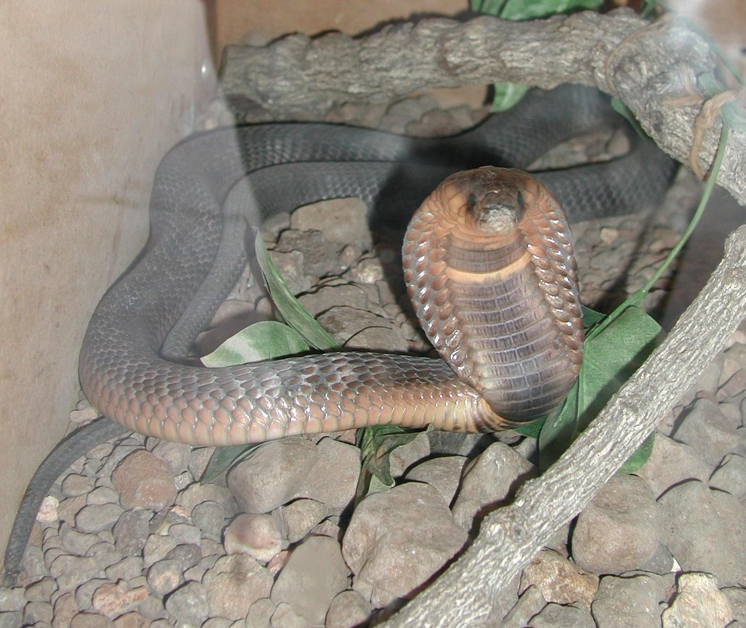Cobra comune o Egiziano (naja haje)
