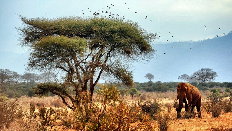 Kenya. Elefante nel Parco Tsavo Est