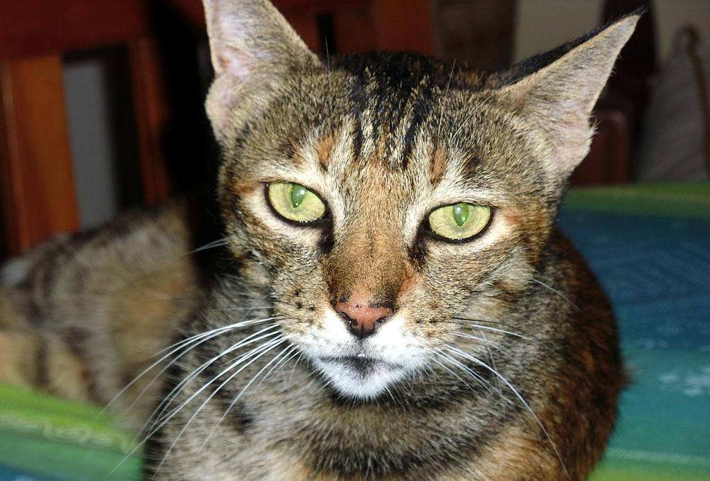 My Sokoke Forest Cat