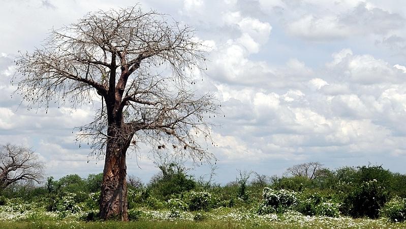 Baobab africano (adansonia digitata)