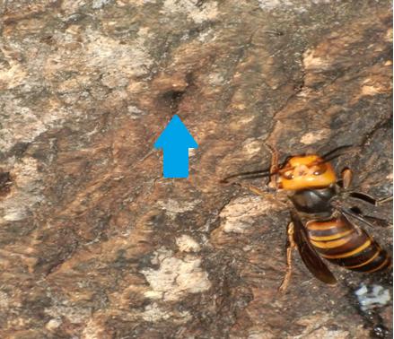 虫の入った穴(矢印)とスズメバチ'16,10,30