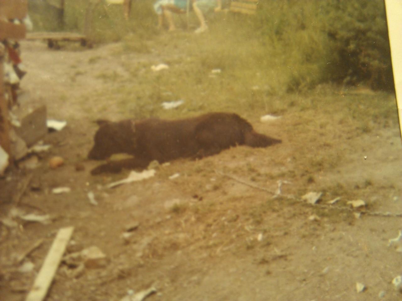 Heute Gott sei Dank verboten: Das Halten an der Kette. Anfang der 70er leider noch üblich. Mein erster Hundefreund: Dschingie.