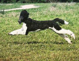 Patsy als Junghund