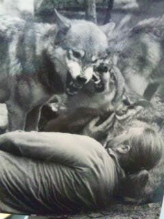 激突する2匹のオオカミの間に入り、仲裁役をするオオカミと著者(カバー写真より)