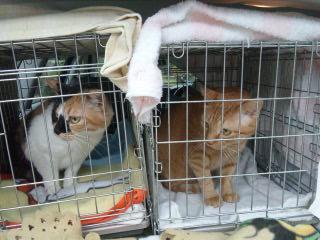 シェルターに暮らす被災地からの猫たち。終わりのない保護・飼育活動。公的助成金もなく、民間に重い負担がのしかかる。