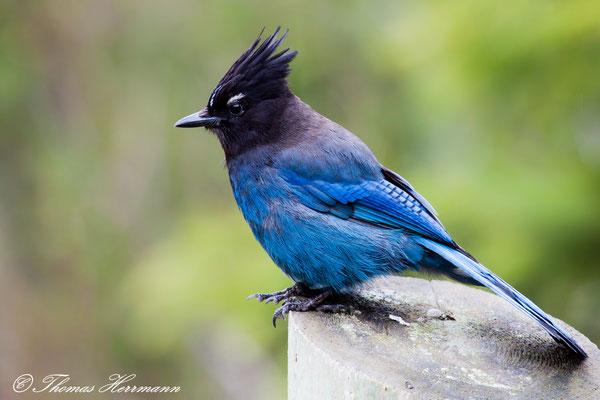 Diademhäher (Steller´s Jey) - amerikanischer Singvogel