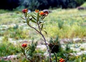 Asclepias curassavica, plante-hôte en zone agricole irriguée