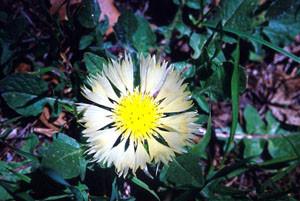 Centaurea pullata, l'une des Centaurées-hôtes