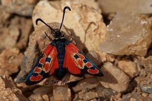 Z. beatrix courtinae  (Haut Atlas central)
