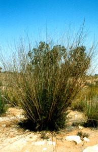 Foeniculum vulgare, plante-hôte, Tiznit