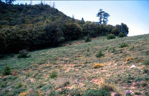 Pente à ssp. gaisericus, Tizi-n-Tretten, Moyen Atlas central