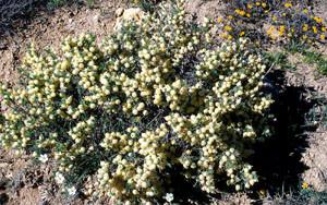 Astragalus armatus, l'une des Astragales-hôtes