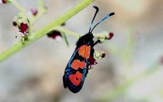 Z. excelsa jeradica (Atlas Tellien)