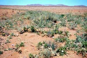 Maader de la région de Tazenakht, habitat de fortune du Marbré du désert en limite septentrionale de son expansion sporadique