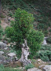Arbutus unedo vétéran, Djebel Bouachem, Rif occidental, plante-hôte de C. avis