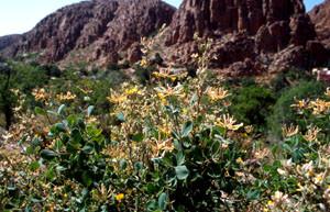 Lonicera etrusca, l'une des plantes-hôtes