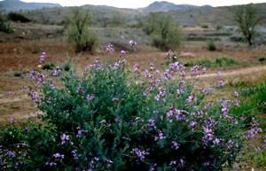 Moricandia arvensis, plante-hôte