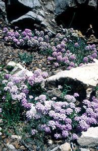 Iberis odorata, plante-hôte de la ssp. atlasica, Michlifen