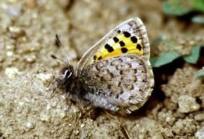T. mauretanicus mauretanicus, Djebel Siroua, Anti-Atlas nord-oriental, 2000