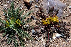 Astragalus caprinus, plante-hôte