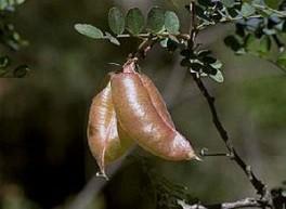 Gousse parcheminée de Colutea atlantica, l'une des plantes nourricières de la larve