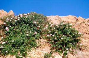 Capparis spinosa, plante-hôte, Tamayoust, Moyen Atlas central