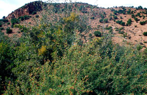 Niche écologique, Aoufour, Anti-Atlas nord-oriental