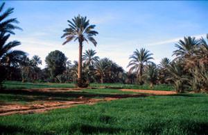 Biotope oasien, Jorf, Tafilalet