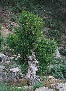 Arbutus unedo, plante-hôte