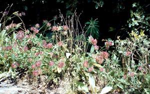 Anthylis vulneraria, plante-hôte