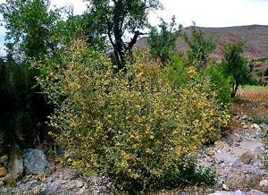 Genista ifniensis, l'une des plantes nourricìères de la ssp. estherae