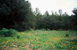 Biotope sylvatique à thérophytes pionnières, Forêt de Tourtite, Moyen Atlas central