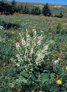 Salvia argentea fleurie, plante-hôte