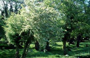 Crataegus sp., plante-hôte, Ifrane, Moyen Atlas central