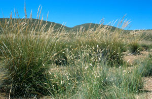 Stipa tenacissima, plante-hôte