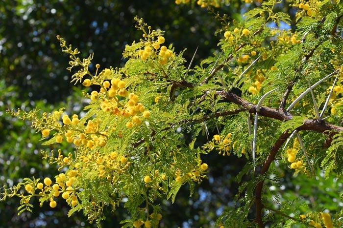 Vachellia karroo, Mimosa parasité par A. ubaldus dans sa nouvelle station des alentours de Missour