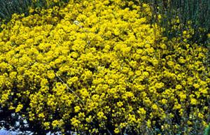 Coronilla minima en phase luxuriante, plante-hôte élective