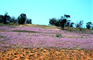 Espace de vol florifère, Tiznit, Anti-Atlas sud-occidental