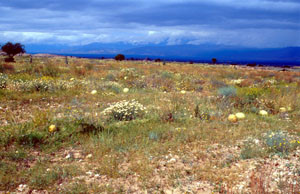 Biotope du Sud (E. belemia desertorum), région de Taroudannt, Vallée du Souss