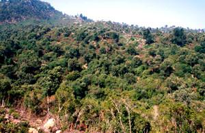 Arbouseraie du Djebel Bouachem, Rif occidental, habitat de C. avis