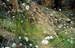 Deverra chloranthus, plante-hôte, Tizi-n-Bachkoum