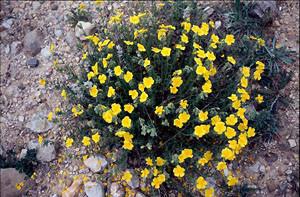 Helianthenum lavandulifolium, l'une des plantes nourricières de la ssp. occidentalis